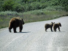 195 Grizzly Sow & Cubs